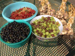 Transformer un potager : petits fruits