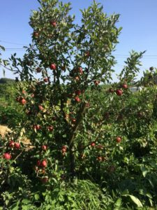 planter un arbre pour produire des fruits