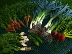 récolte légumes racines