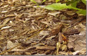 planter un arbre pour produire du brf et du paillage pour le sol