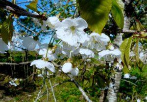 planter un arbre permet de produire des fleurs et donc du pollen pour les abeilles