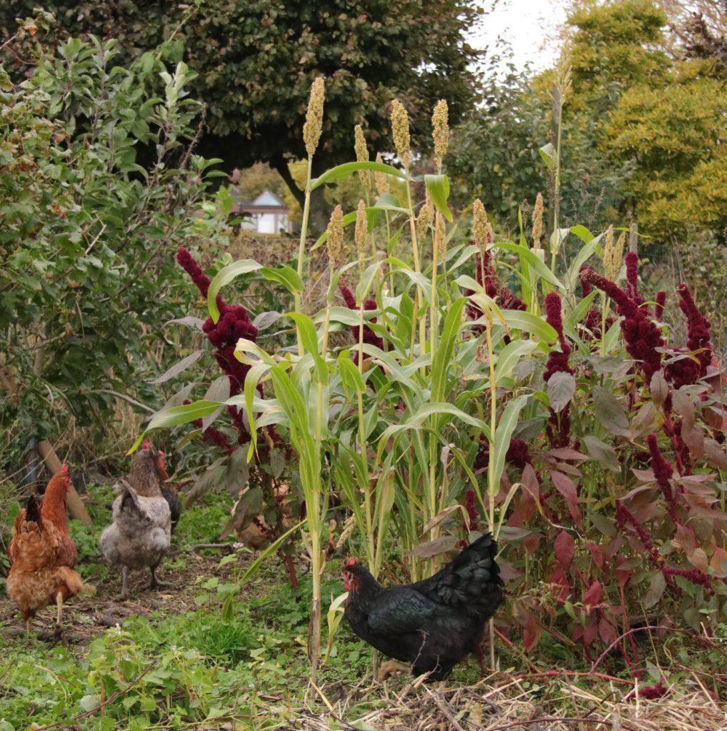 plantation pour poulailler au jardin