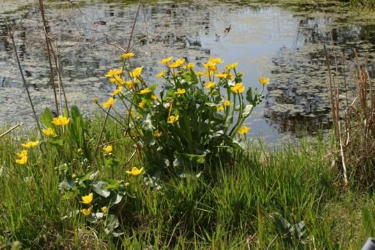 plante de berge pour mare naturelle