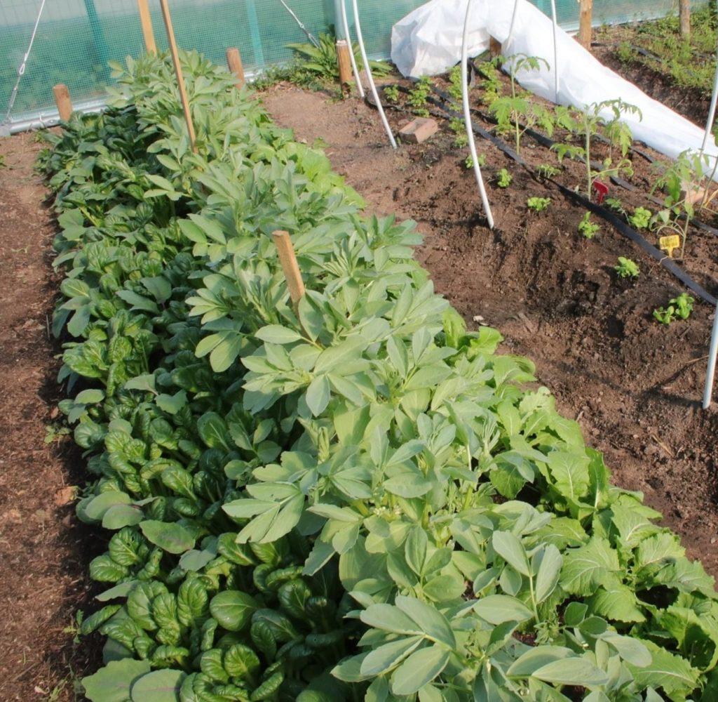 associer les légumes : fèves et choux